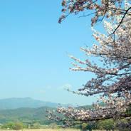 桜 花見 広沢池