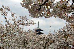 桜花見の楽しみ方Part2八重桜