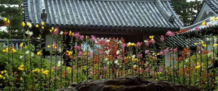 大覚寺の風物詩 嵯峨菊展