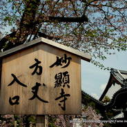 花見  妙顕寺 日像 大覚