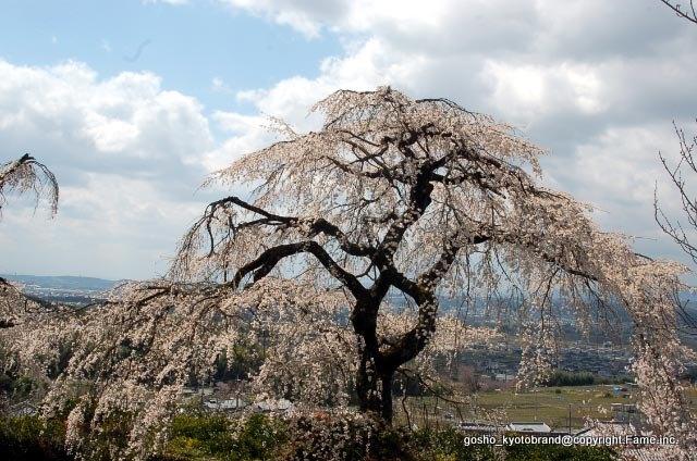 禅院の鐘楼の傍  樹齢約270年の枝垂れ桜がある。