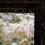 花見 桜  二尊院 角倉了以 円仁 嵯峨天皇
