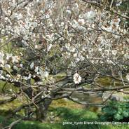 観梅 梅見 花見 枝垂れ梅と椿まつり 城南宮 楽水苑 平安の庭 中根金作