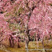 観梅 梅見 花見 枝垂れ梅と椿まつり 城南宮 楽水苑 春の山 中根金作