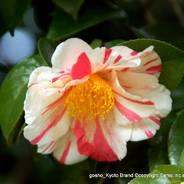 観梅 花見 枝垂れ梅と椿まつり 城南宮 楽水苑 平安の庭 中根金作