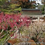 観梅 花見 枝垂れ梅と椿まつり 城南宮 楽水苑 室町の庭 中根金作