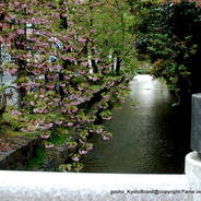 花見 八重桜 高瀬川