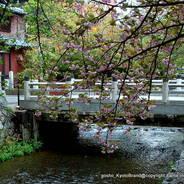 花見 八重桜 高瀬川一の舟入