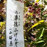 普賢象桜 花見 千本ゑんま堂 引接寺
