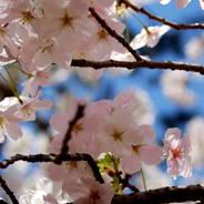 花見 京都御所