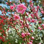 花見 京都御苑 近衛邸跡
