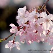 花見 観桜 仏光寺