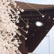 花見 観桜 千本釈迦堂