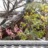 花見 観桜 慈福寺
