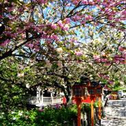 花見 観桜 六孫王神社