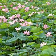 観蓮 花の寺 大沢池