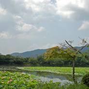 観蓮 花の寺 大覚寺 大沢池