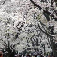 桜 花見 背割堤