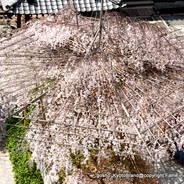 桜 花見 観桜 早咲き桜 頂法寺 六角堂 御幸桜