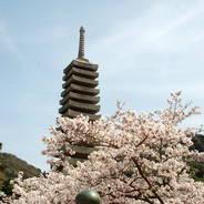 桜 花見 観桜 宇治川さくらまつり 浮島十三重石塔
