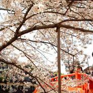 桜 花見 観桜 宇治川さくらまつり 喜撰橋