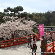 桜 花見 観桜 宇治川さくらまつり 塔の島