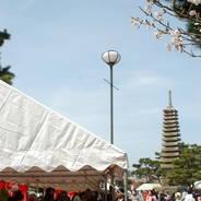 桜 花見 観桜 宇治川さくらまつり 炭山陶器まつり 塔の島