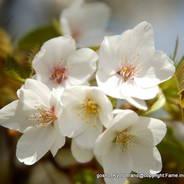 桜 花見 観桜 宇治川さくらまつり 宇治観光 観光船 宇治中ノ島