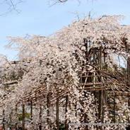 桜 花見 観桜 宇治川さくらまつり 宇治中ノ島 塔の島 宇治しだれ
