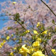 桜 花見 観桜 宇治川さくらまつり 恵心院 恵心僧都