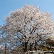 桜 花見 観桜 宇治川さくらまつり 世界遺産 宇治変電所