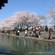 桜 花見 観桜 宇治川さくらまつり 宇治中ノ島 橘島