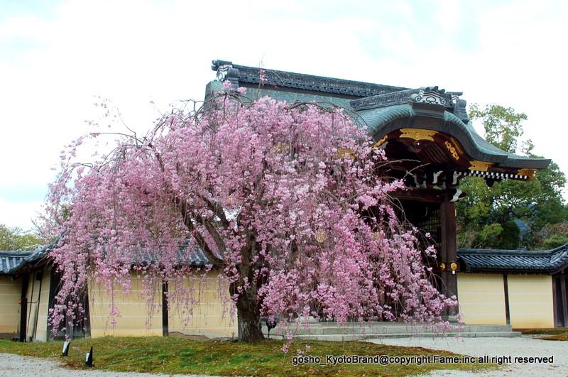 大覚寺勅使門 紅枝垂桜