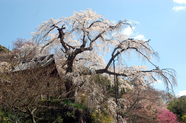 地蔵禅院の枝垂桜