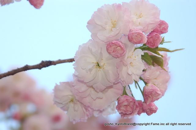 神苑の八重桜