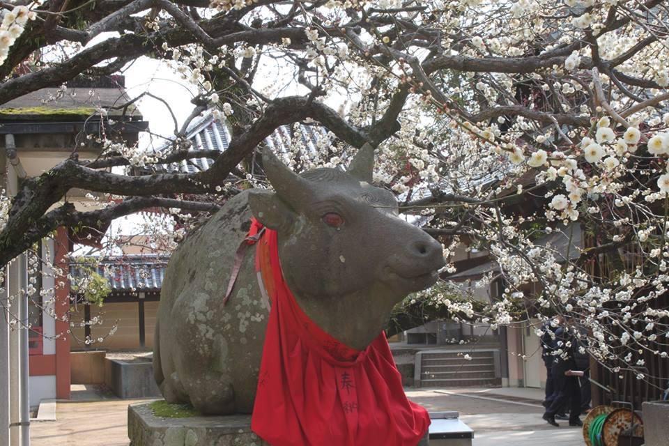 境内の梅が見ごろを迎えた北野さん