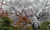京都ミステリー紀行、お花見ウォーク