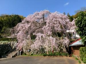 舞鶴吉田のしだれ桜