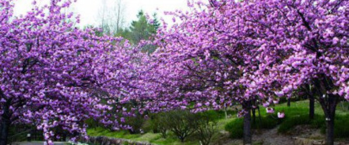 宇治市植物公園八重桜