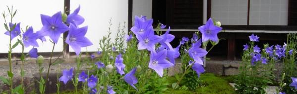 桔梗の花が咲いてます/紫式部邸宅址