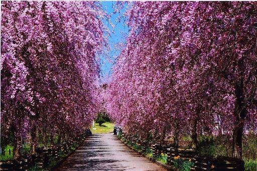 夜久野高原桜花祭
