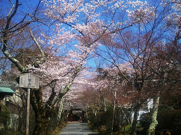 jyosyouji-sakura