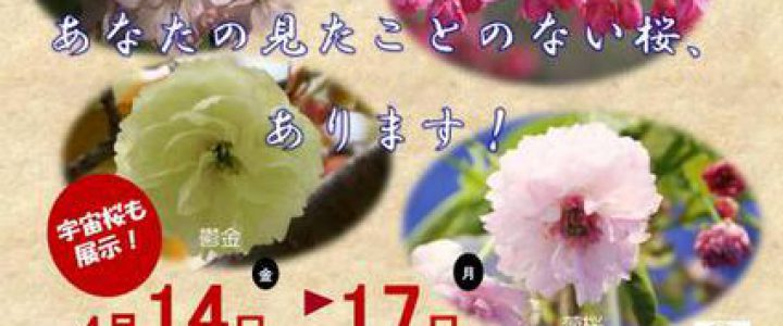 桜散策・宇宙桜?★第6回サトザクラ展・京都府立植物園2017