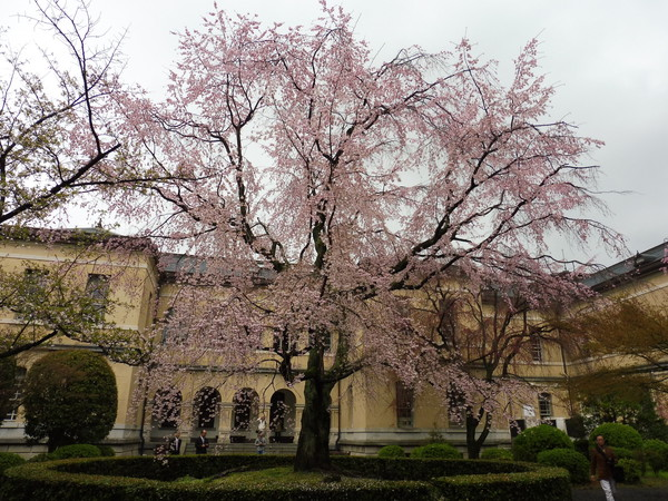 京都府庁旧本館の桜満開
