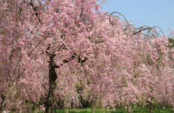 桜と春を彩る花々の競演:府立植物園