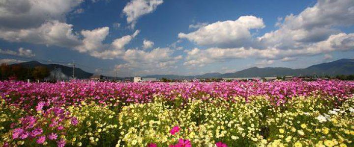 800万本のコスモスが風にそよぐ亀岡・夢コスモス園