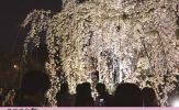 しだれ桜夜間無料公開 / 宇治市植物公園