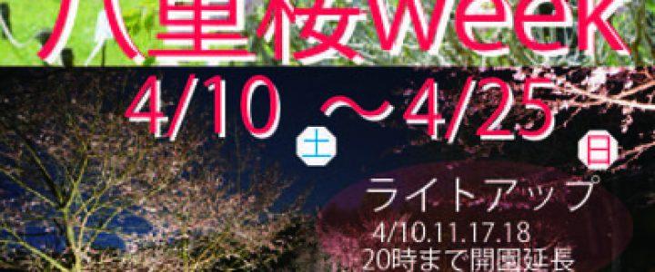 八重桜week  ライトアップ 宇治市植物公園
