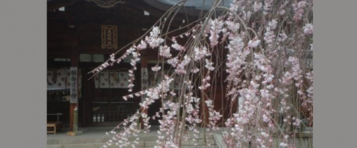 隠れ名所・大石桜見頃!  さくら祭り