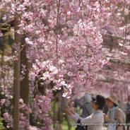 花見 半木の道